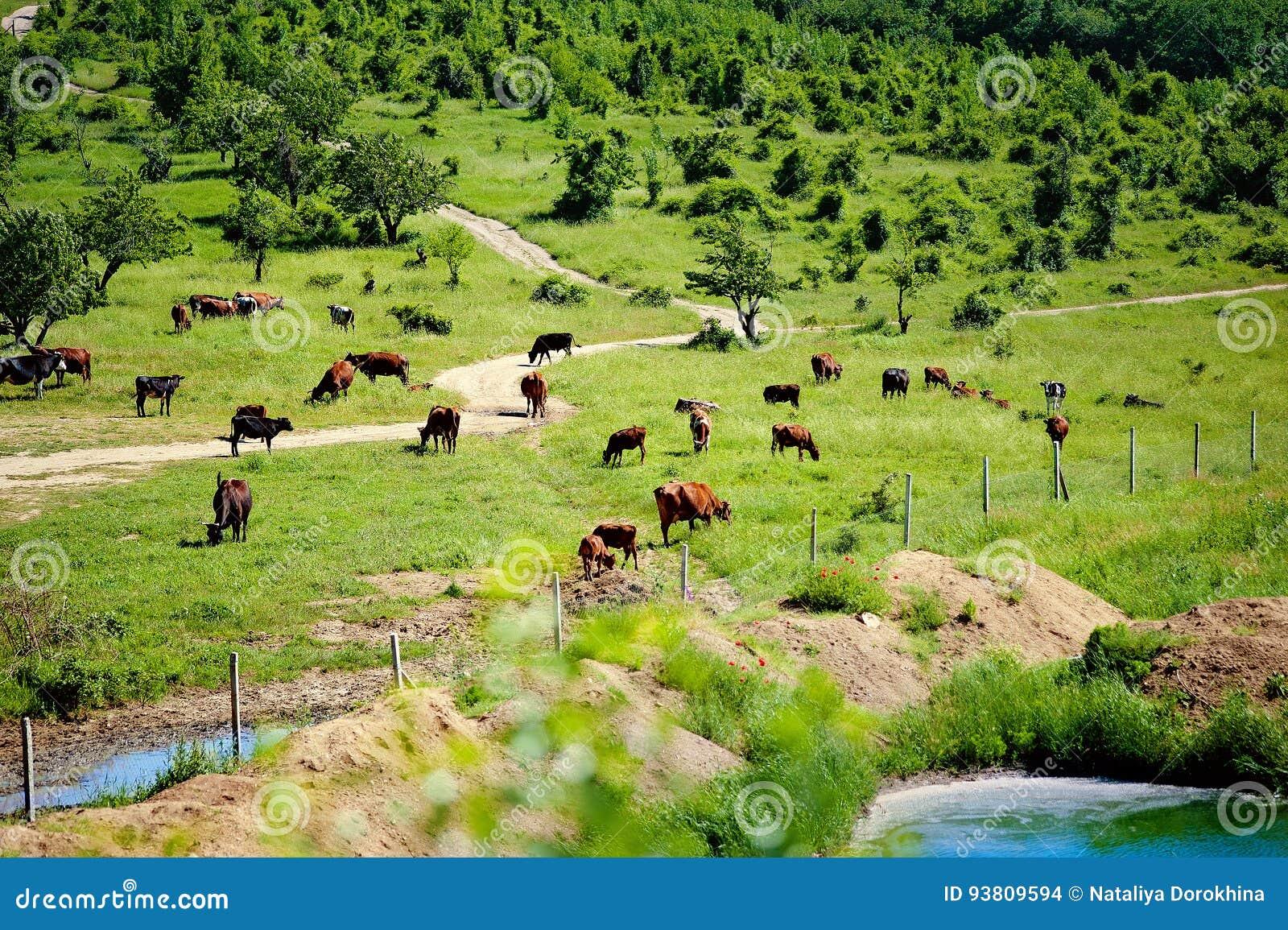 Prado con el pasto de las vacas, riegsee idílico del lago del paisaje