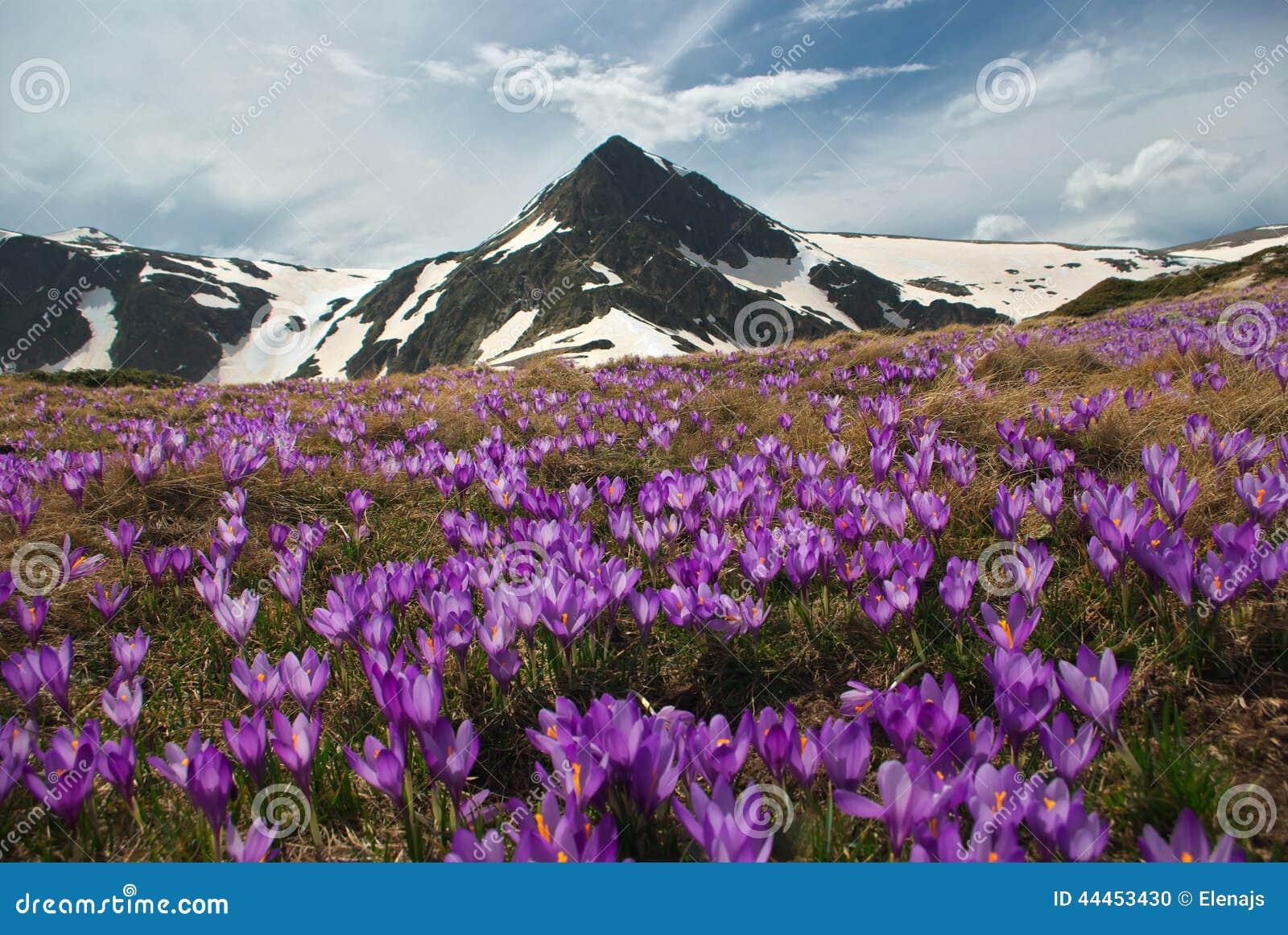 Prado da montanha com açafrão