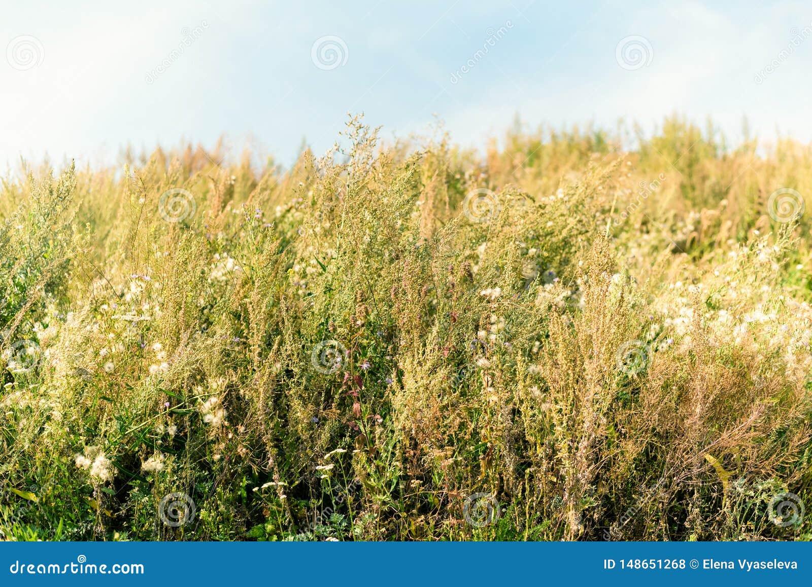 Prado de feno velho da flor selvagem no ver?o Ervas, prado com grama secada, fundos da natureza do outono
