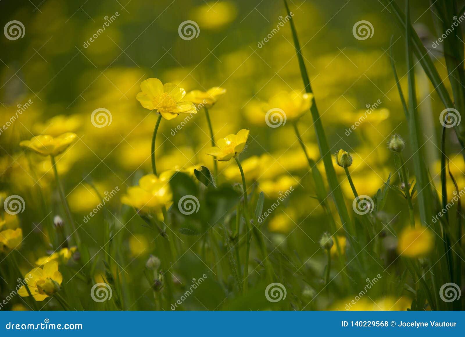 Prado de flores amarelas do copo da manteiga