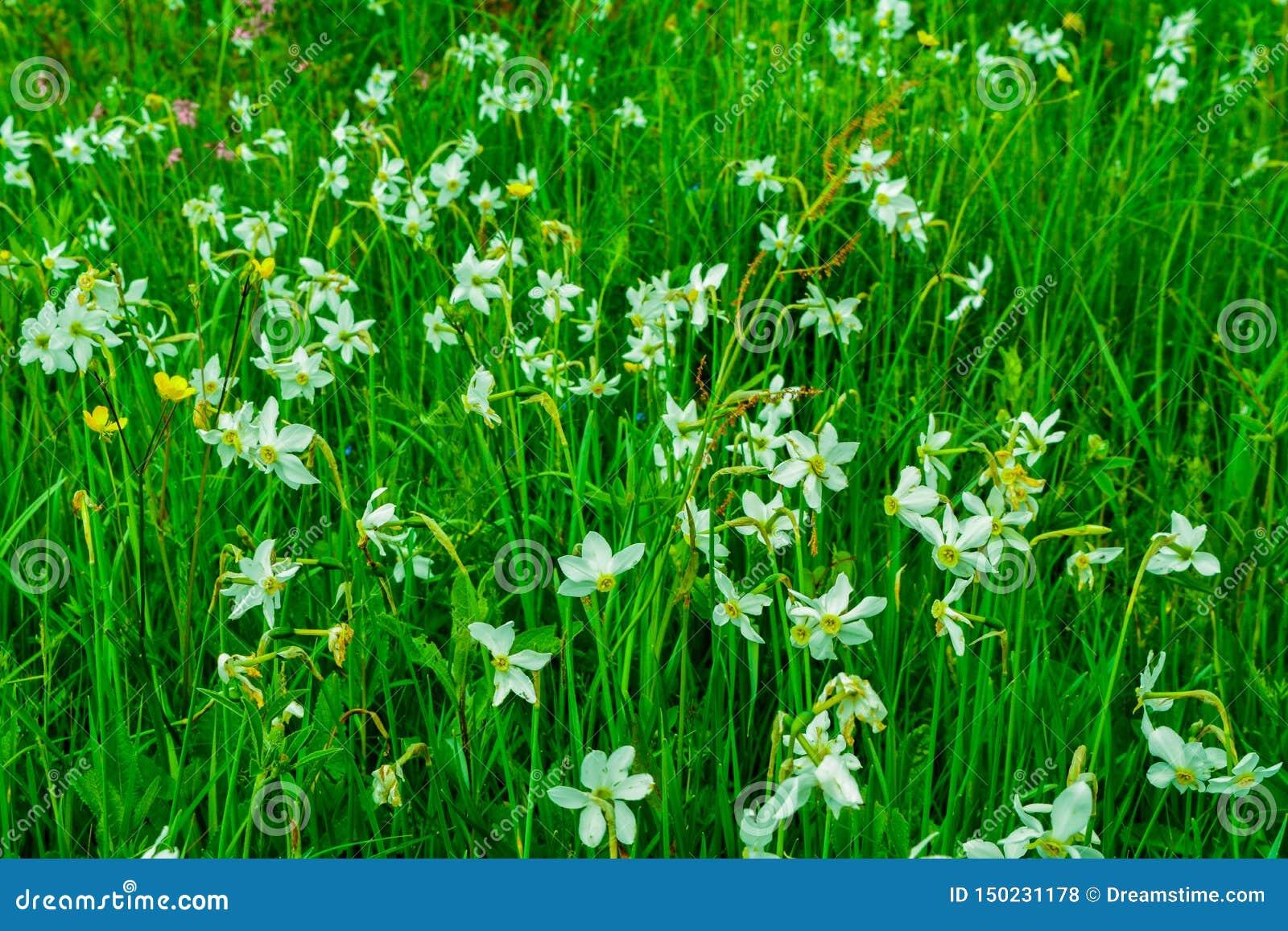 Prado hermoso por completo del narciso en montañas cárpatas