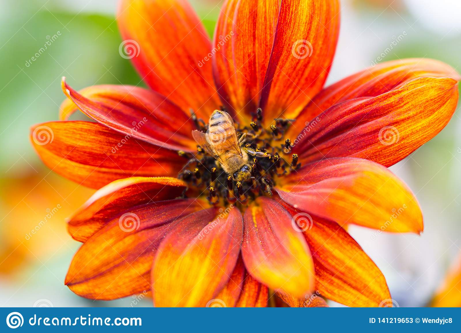 Sunflower with Honey Bee in the centre and some blur
