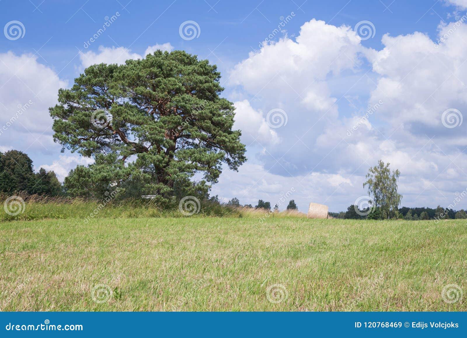 Prado y pino viejo Cielo azul e hierba del yelow
