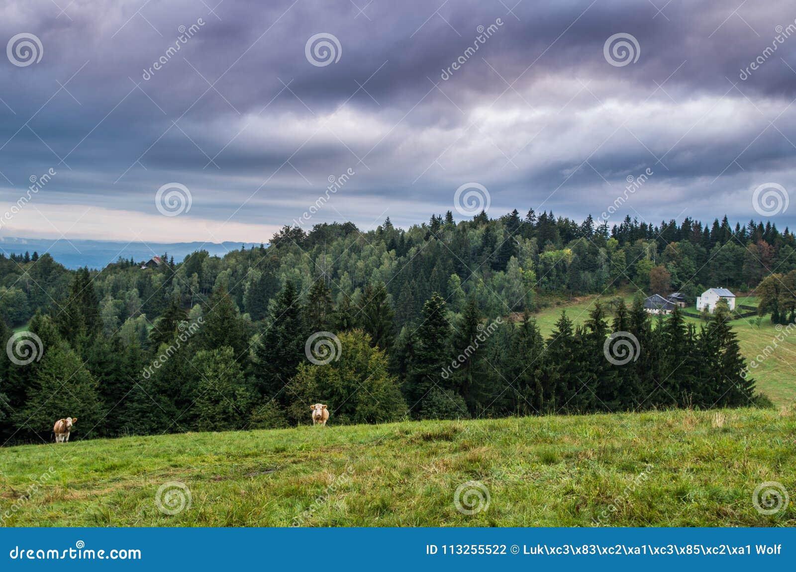 Prado y vacas de la montaña