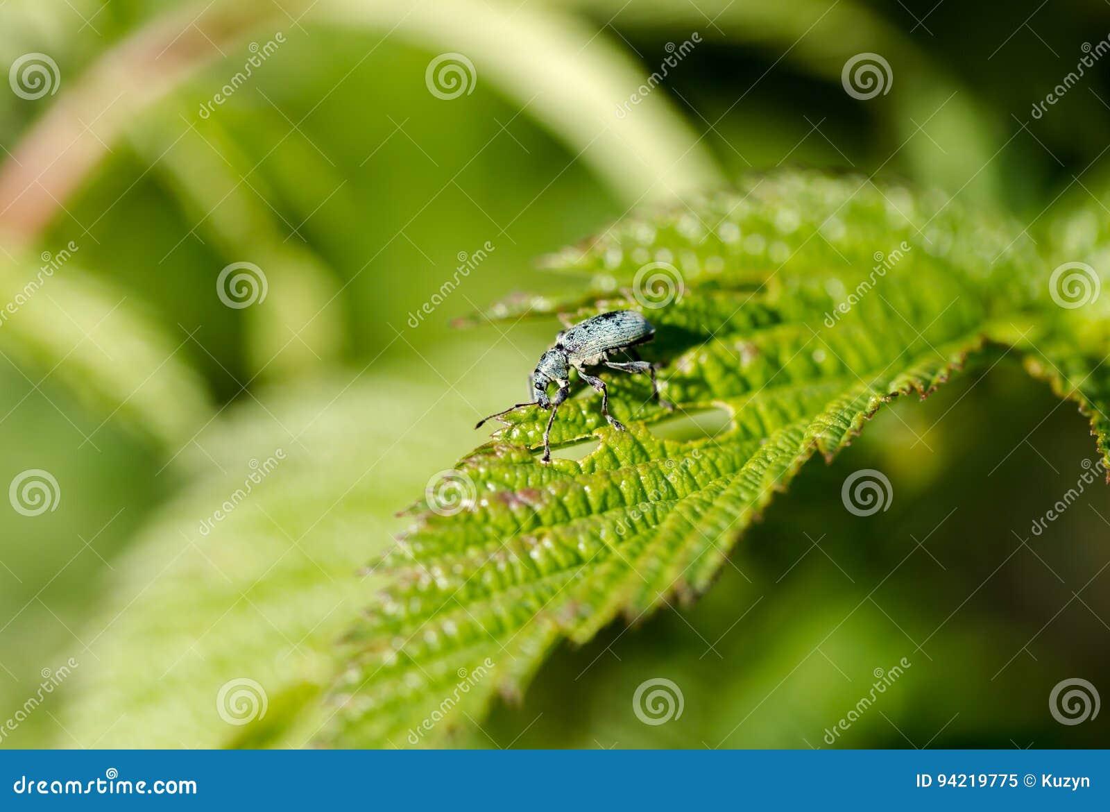 A praga do jardim, Otiorhynchus, come a folha verde, macro