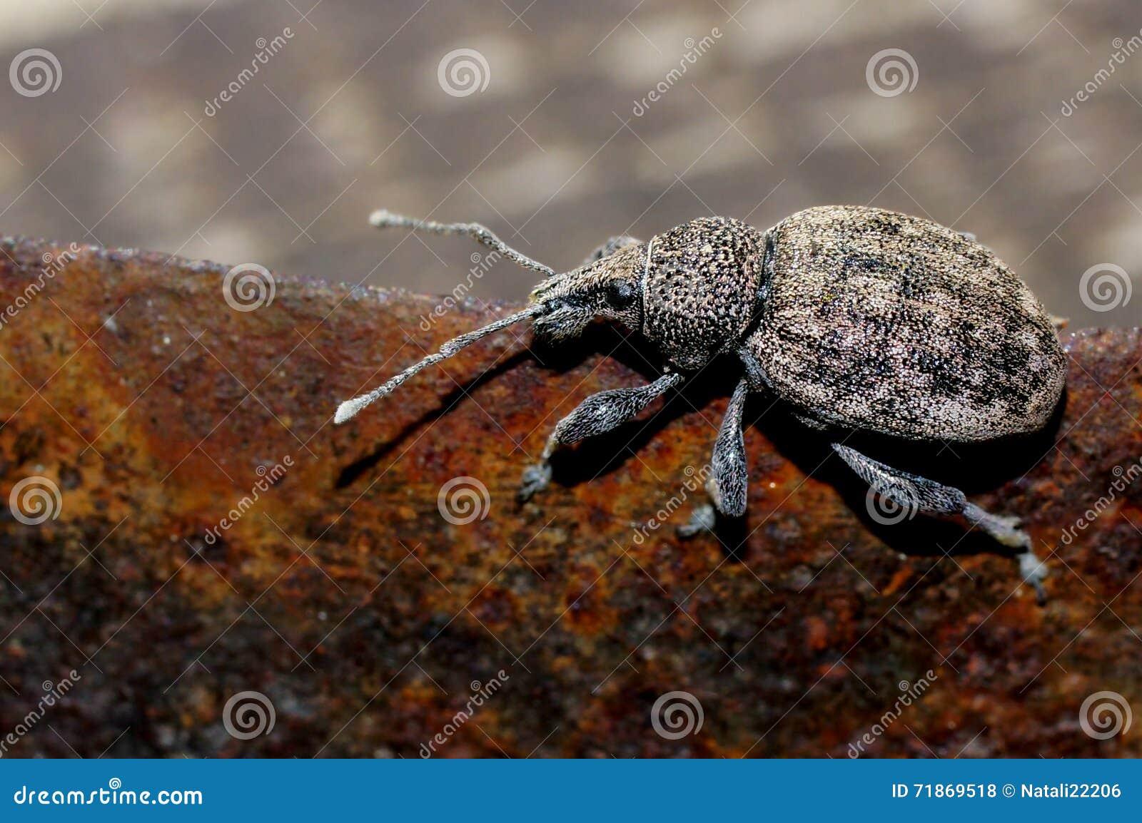 Praga perigosa do ligustici de Otiorhynchus do besouro das colheitas