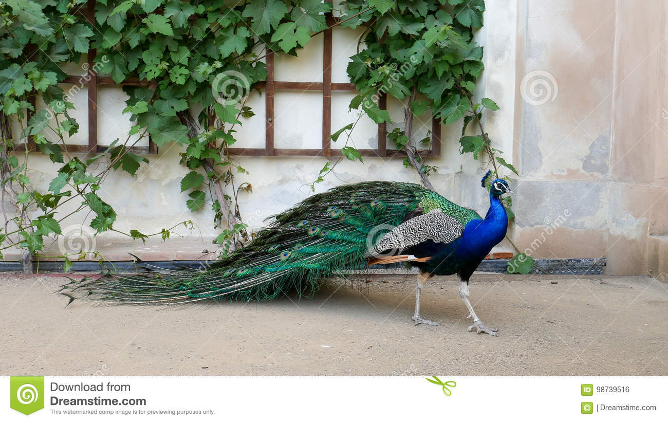 Prague, May 28, 2017. Perfect peacock in the open garden. The male peacock with bright colorful feathers stands near the