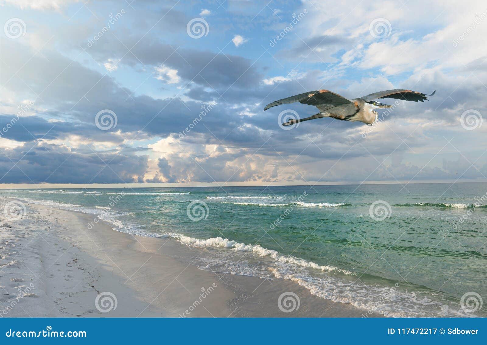A praia bonita de Florida no nascer do sol como a garça-real azul do aGreat voa perto