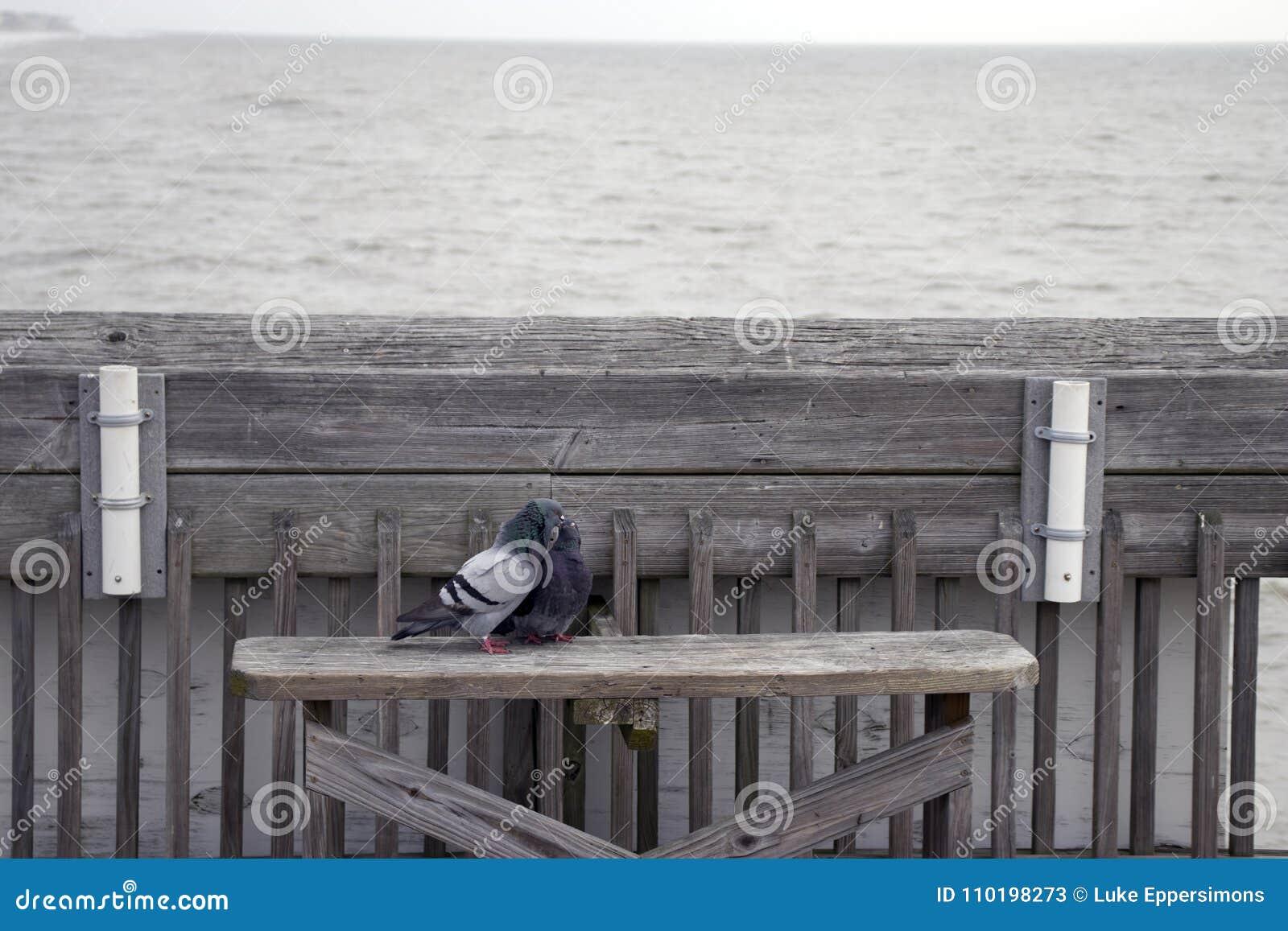 Praia South Carolina do insensatez, o 17 de fevereiro de 2018 - dois pombos que sentam-se em um banco no cais da pesca que beija-