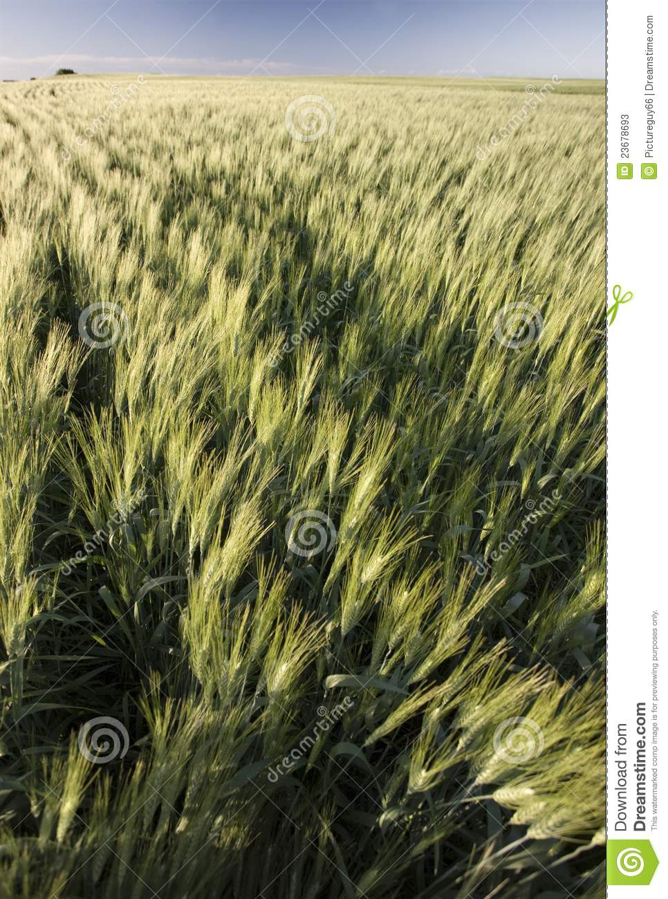 Prairie Crop With Weeds Stock Image. Image Of Green