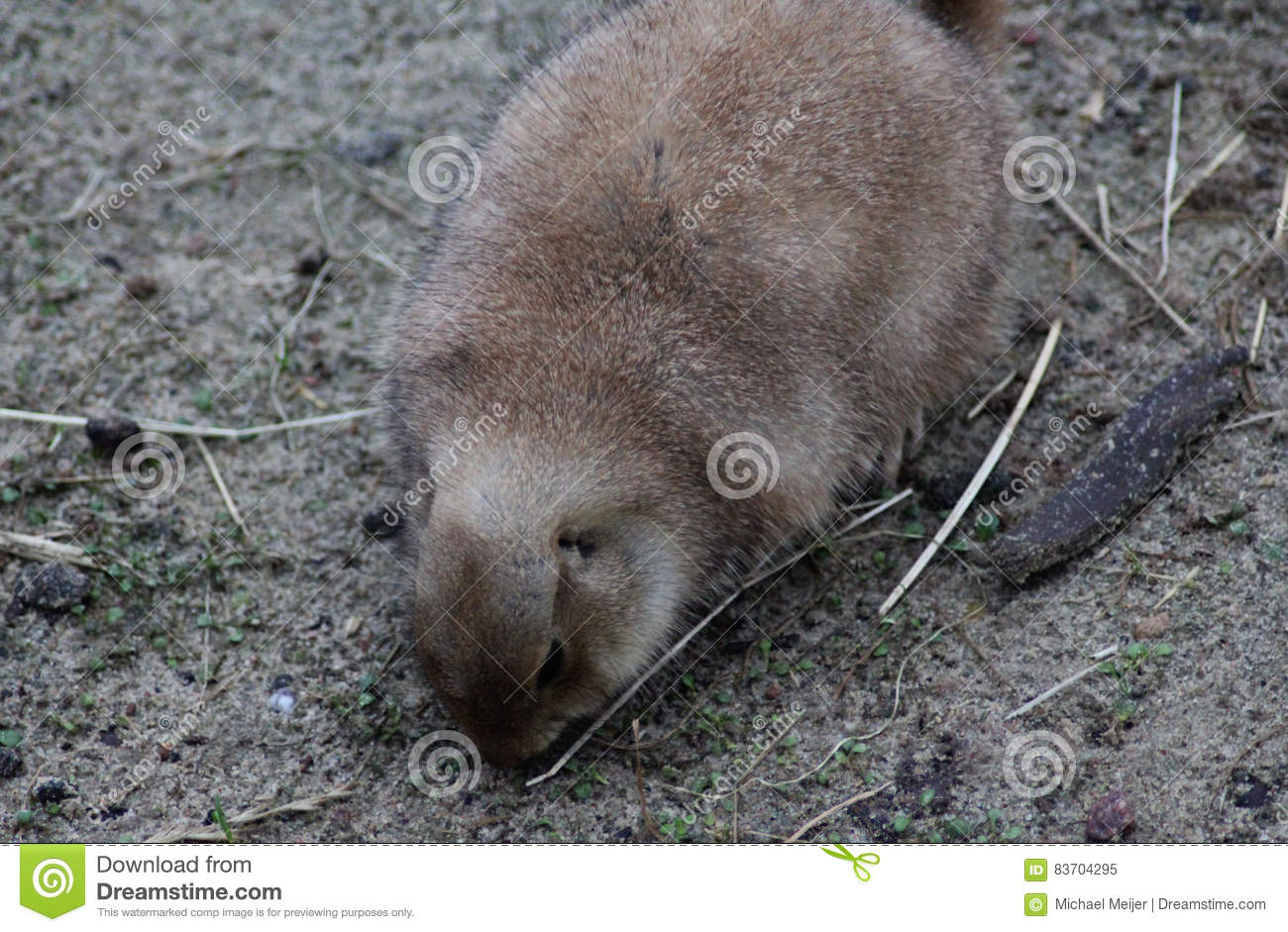 Prairie Dog Chewing Stock Photo