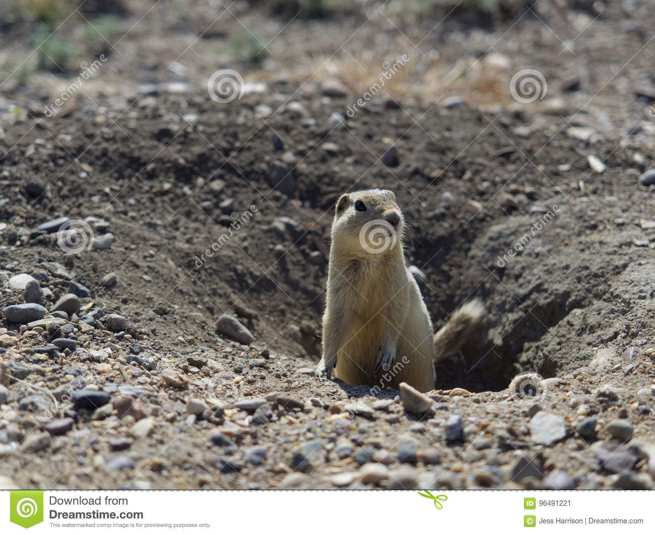 Prairie Dog Coming out of Underground Burrow in the Morning