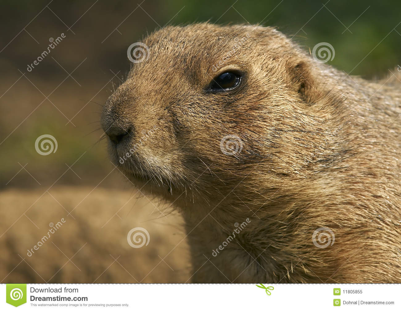 an overview of the praire dog cynomys ludovicianus Spontaneous lymphoma in a prairie dog (cynomys ludovicianus) a 4-year-old, female, black-tailed prairie dog (cynomys ludovicianus) was examined for acute.