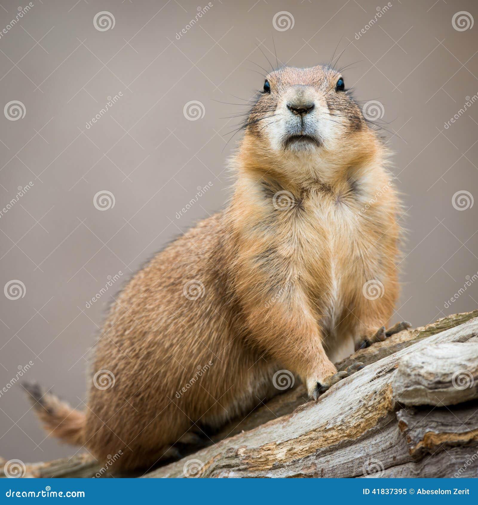 Prairie Dog II