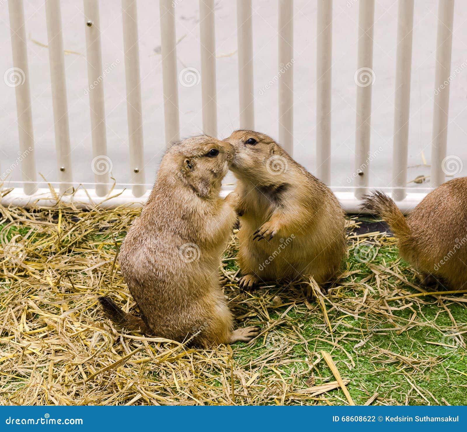 Prairie dog kiss for greeting stock photo image of squirrel download prairie dog kiss for greeting stock photo image of squirrel wildlife 68608622 m4hsunfo