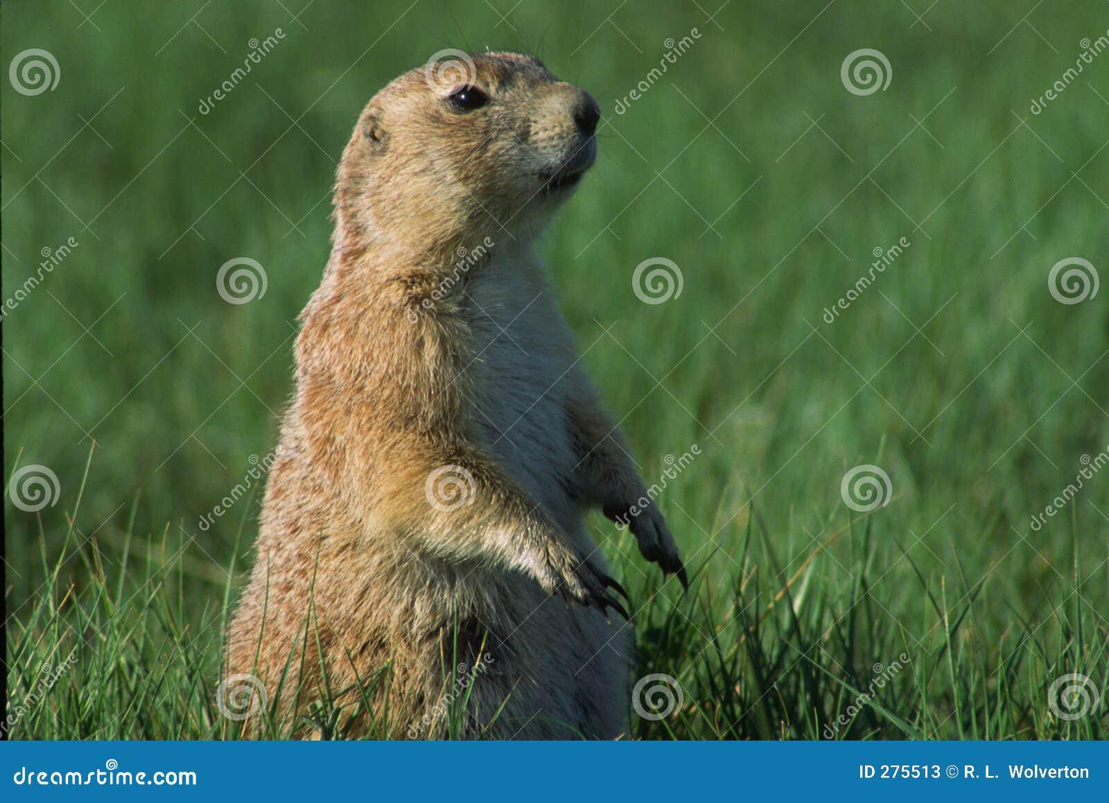 Prairiehond de Met zwarte staart van de schildwacht