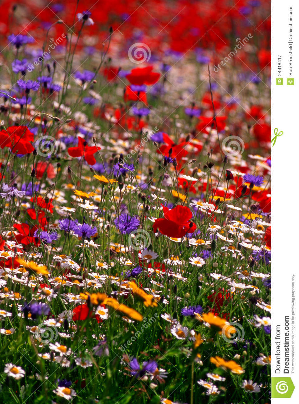 Prato Colourful del wildflower, Inghilterra