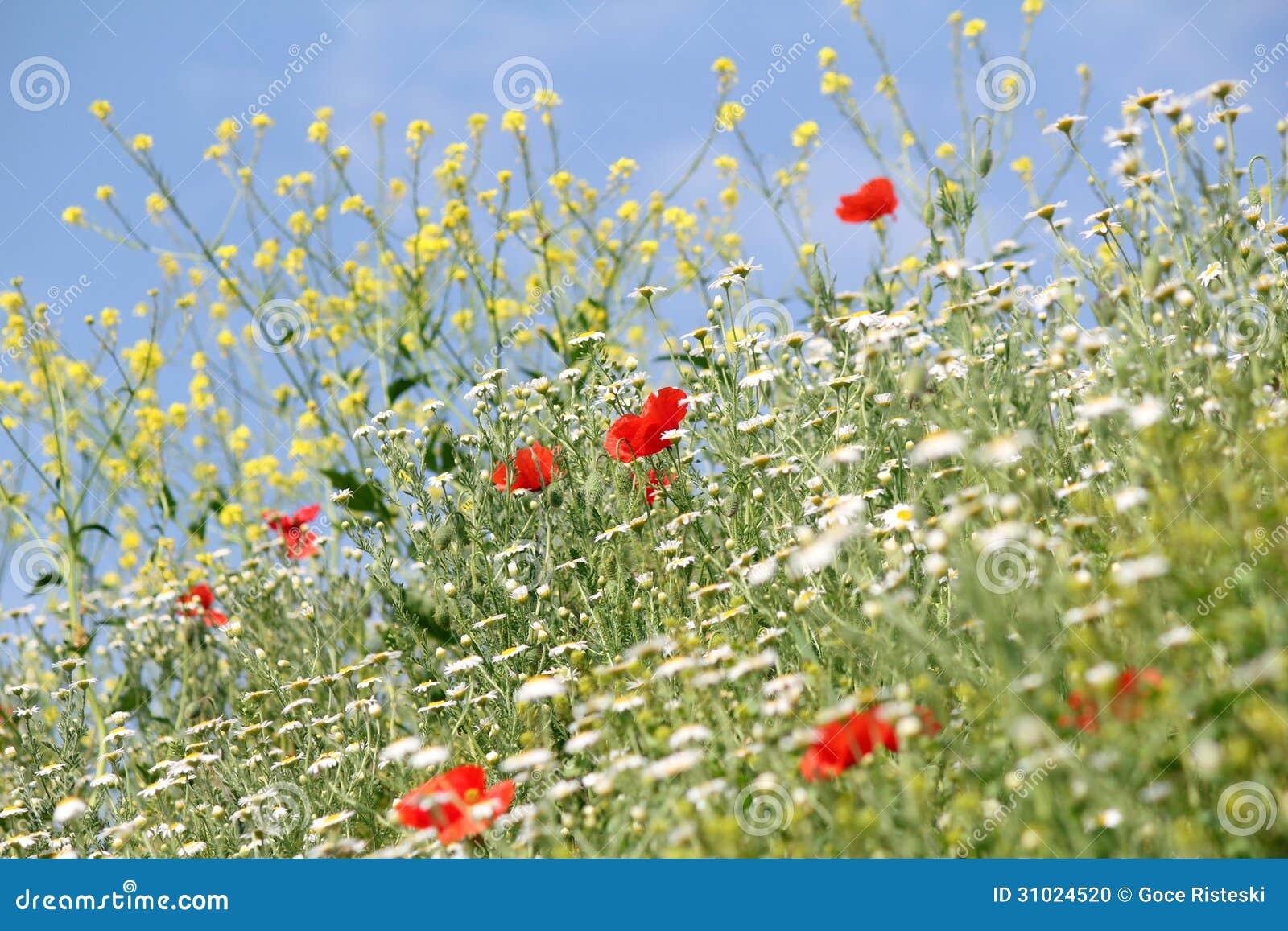 Prato con i fiori selvaggi fotografia stock immagine di for Fiori con la p