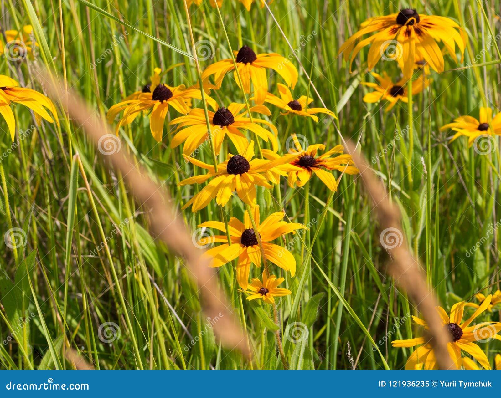 Prato dei coneflowers di margherita gialla