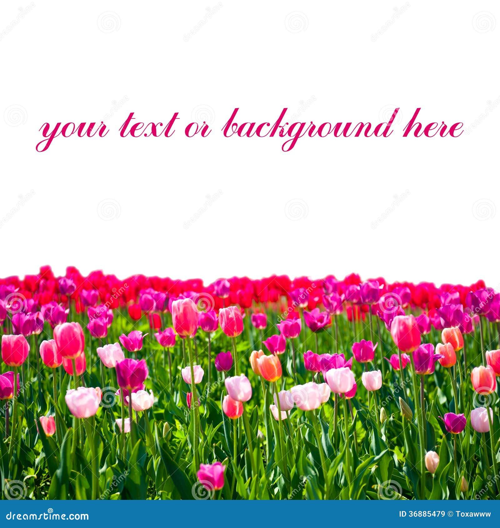 Download Prato dei tulipani immagine stock. Immagine di bellezza - 36885479