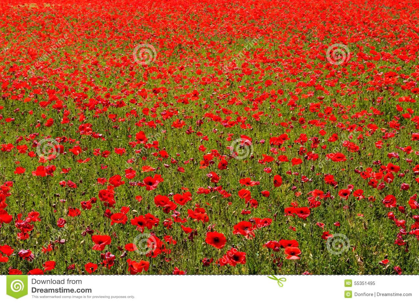 Prato del fiore dei papaveri rossi