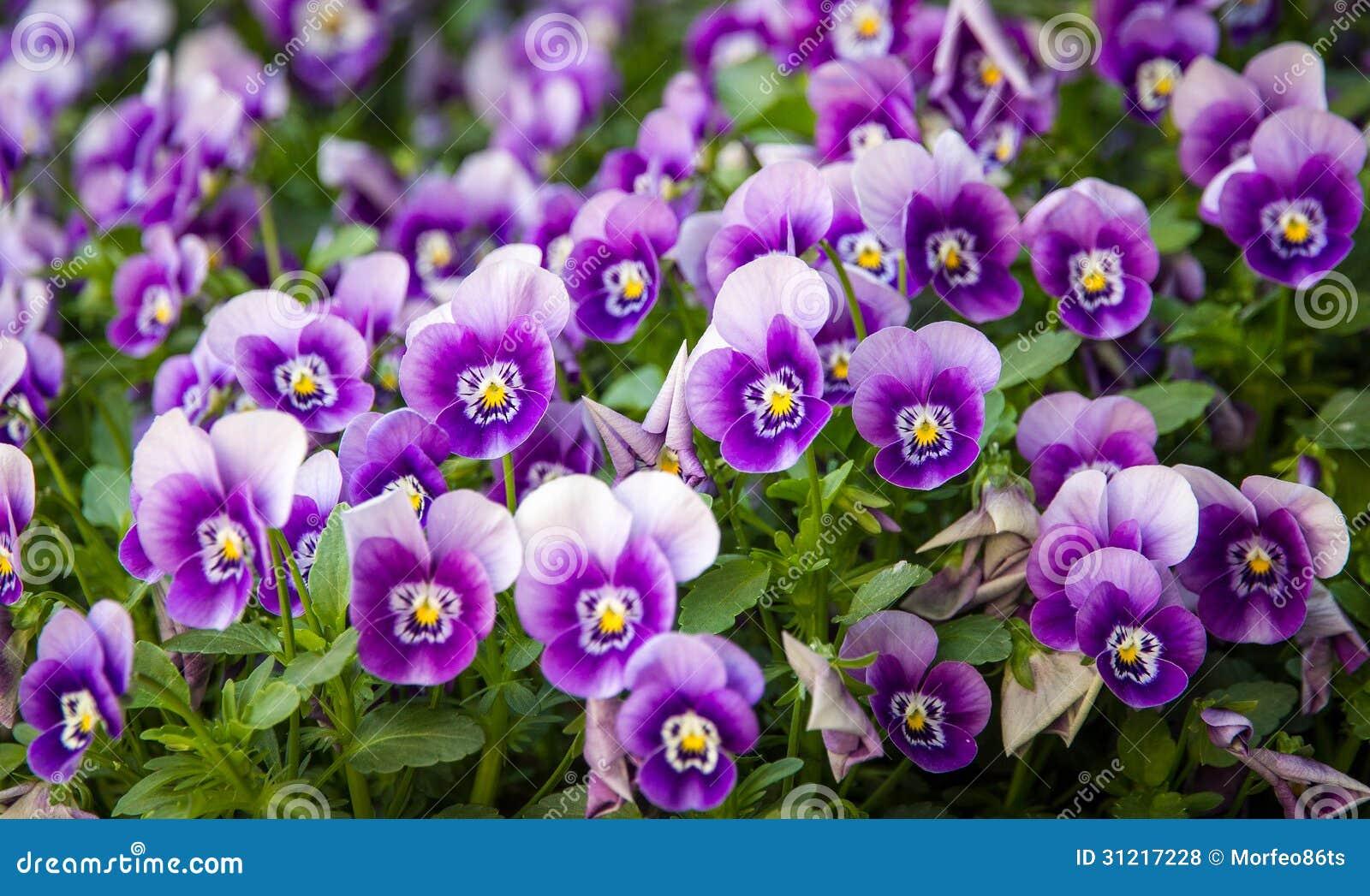 Prato inglese delle viole fotografie stock libere da - Soleggiato in inglese ...