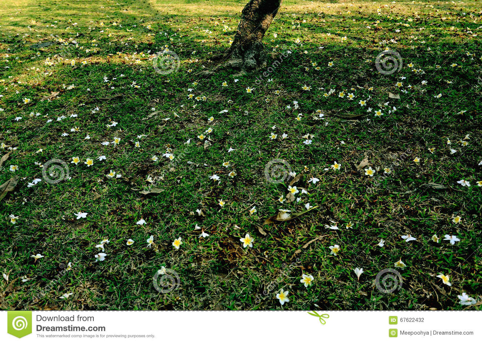 Prato inglese sotto un albero con il fiore del frangipane - Giardino in inglese ...