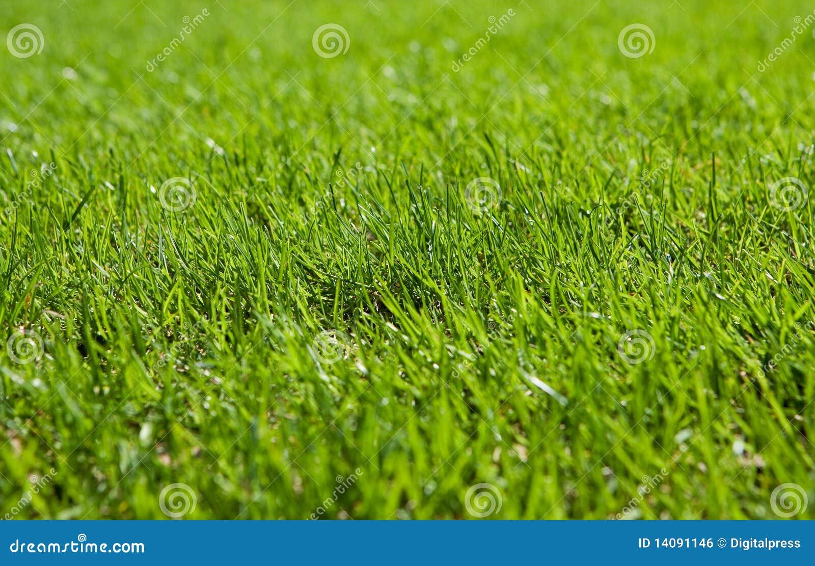 Prato inglese verde fotografia stock immagine di for Prato verde