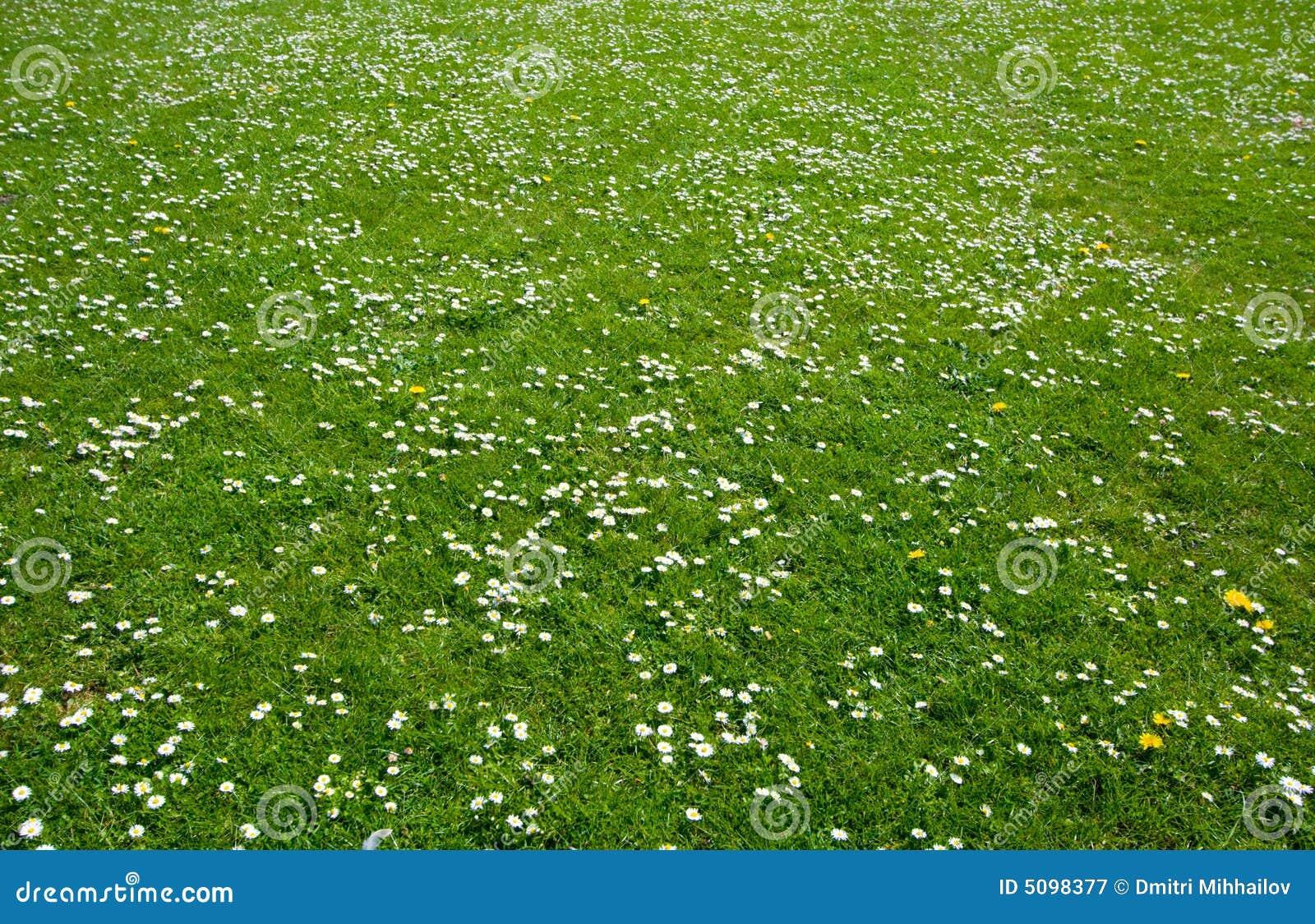 Prato verde immagine stock immagine di chamomiles for Prato verde
