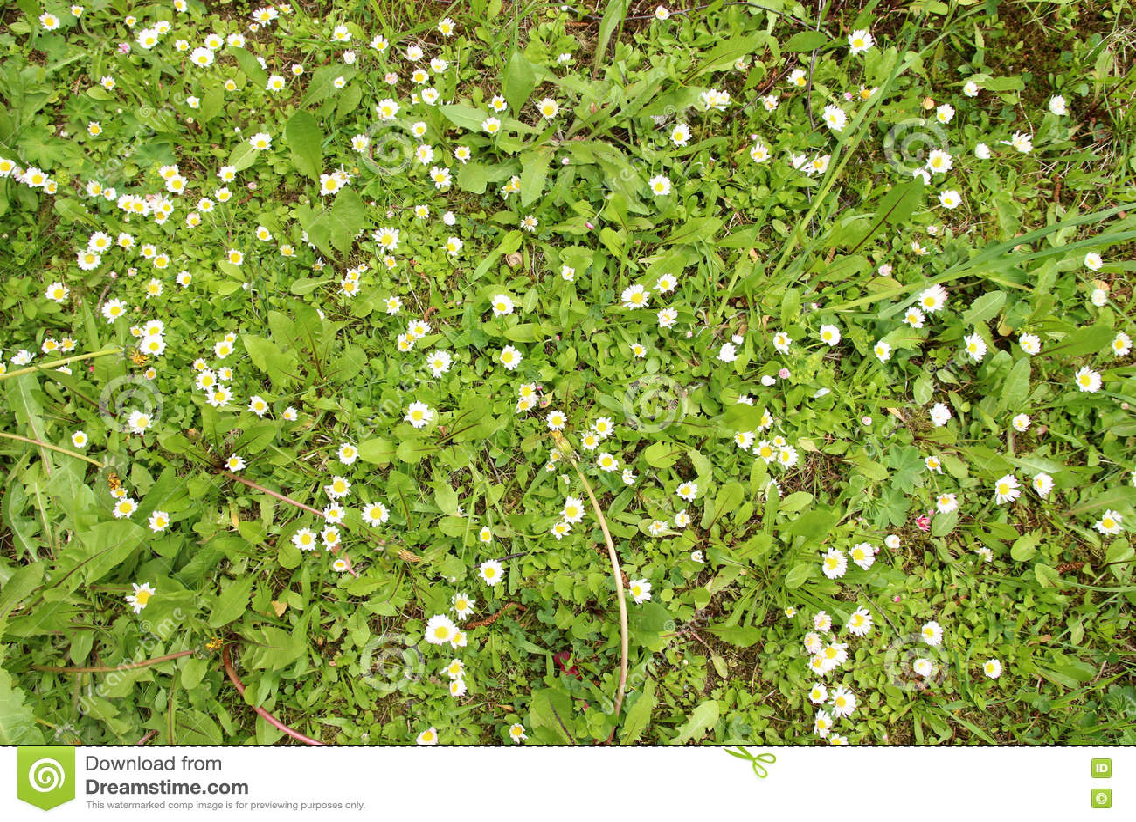 Prato verde sbocciante della primavera fotografia stock for Prato verde