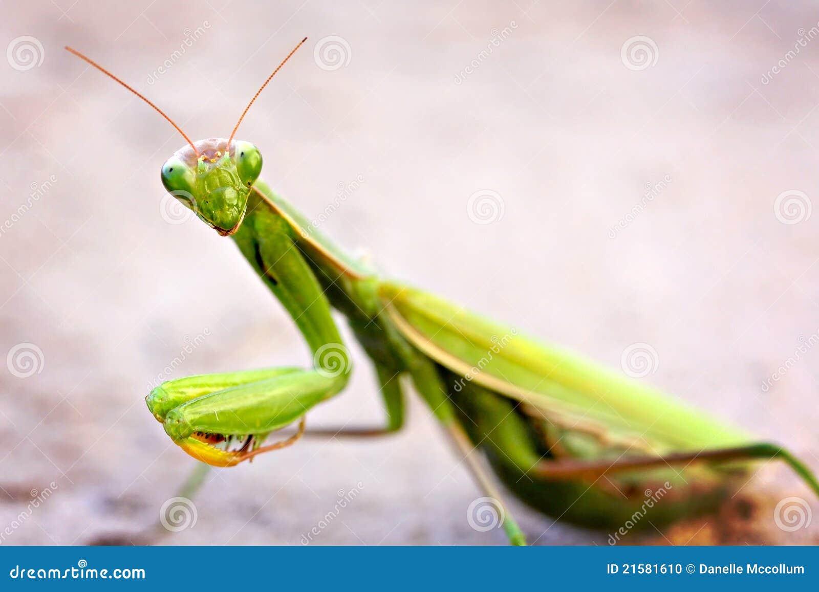 Praying Mantis Stock Photo - Image: 21581610