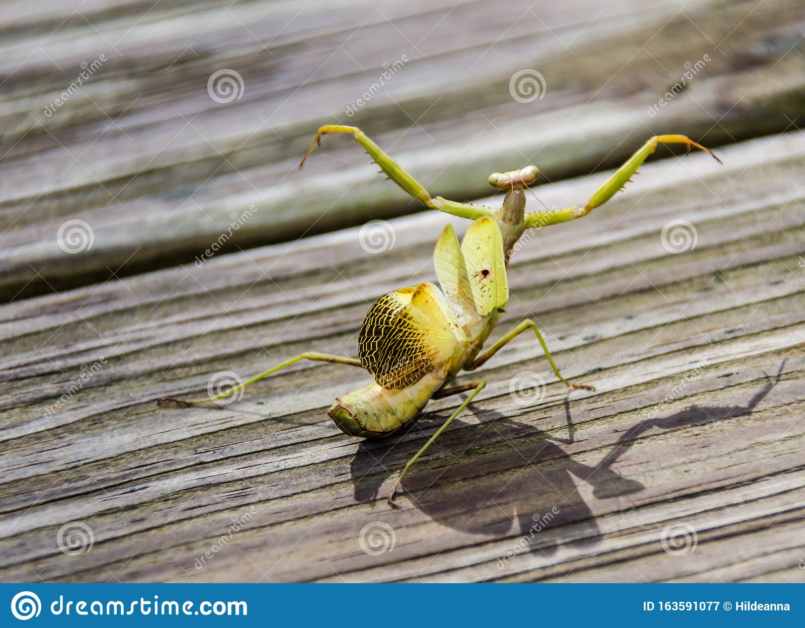Praying Mantis In Aggressive Attack Mode With Wings Extended