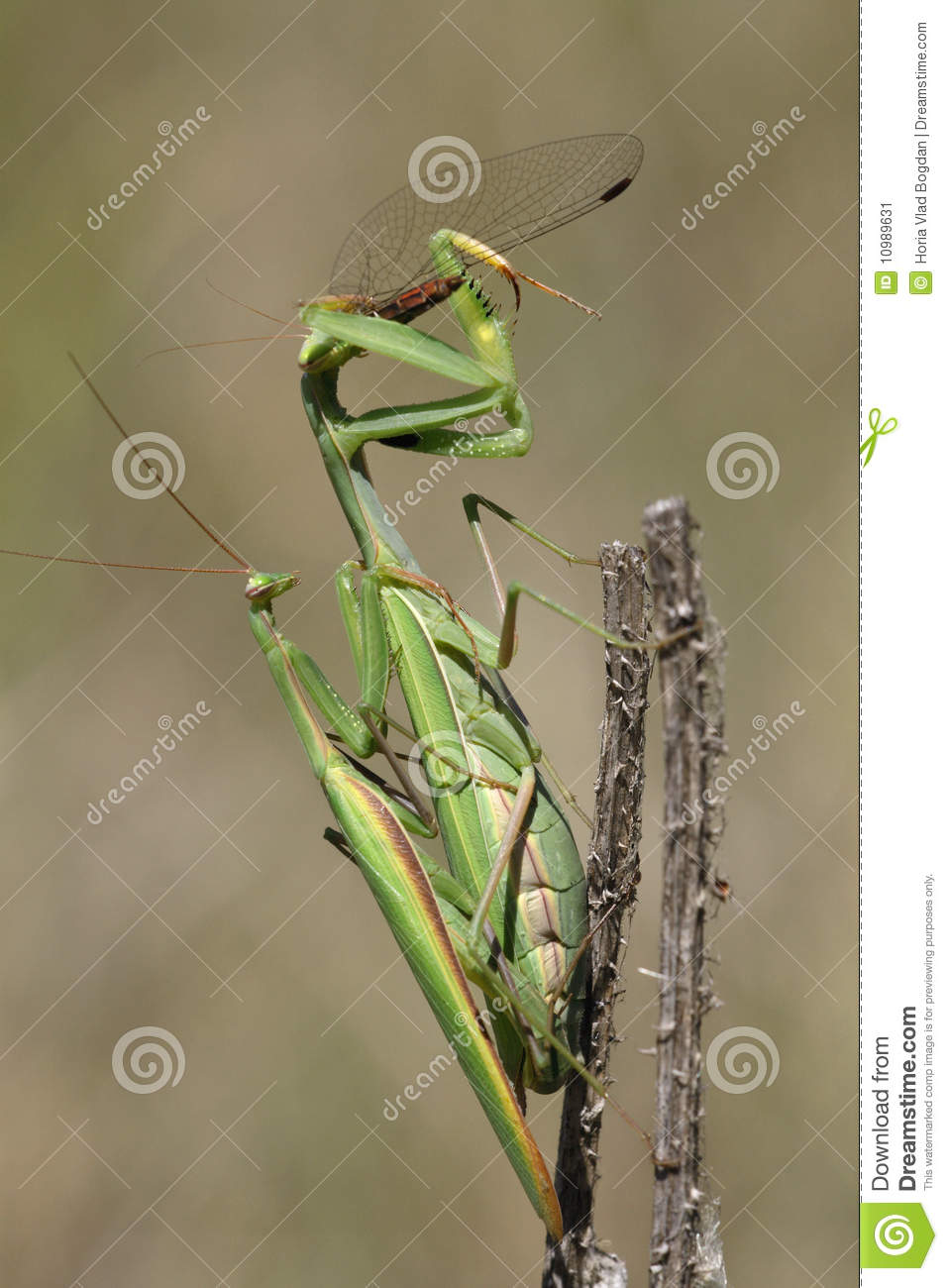 Praying mantis eating and mating