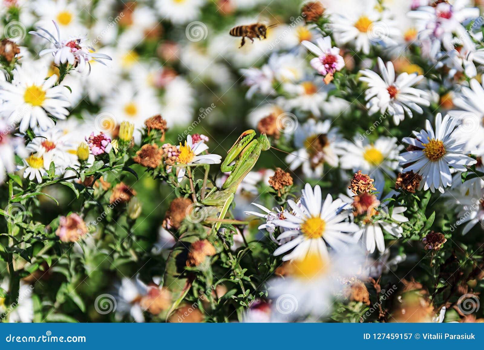 Praying mantis on the flower
