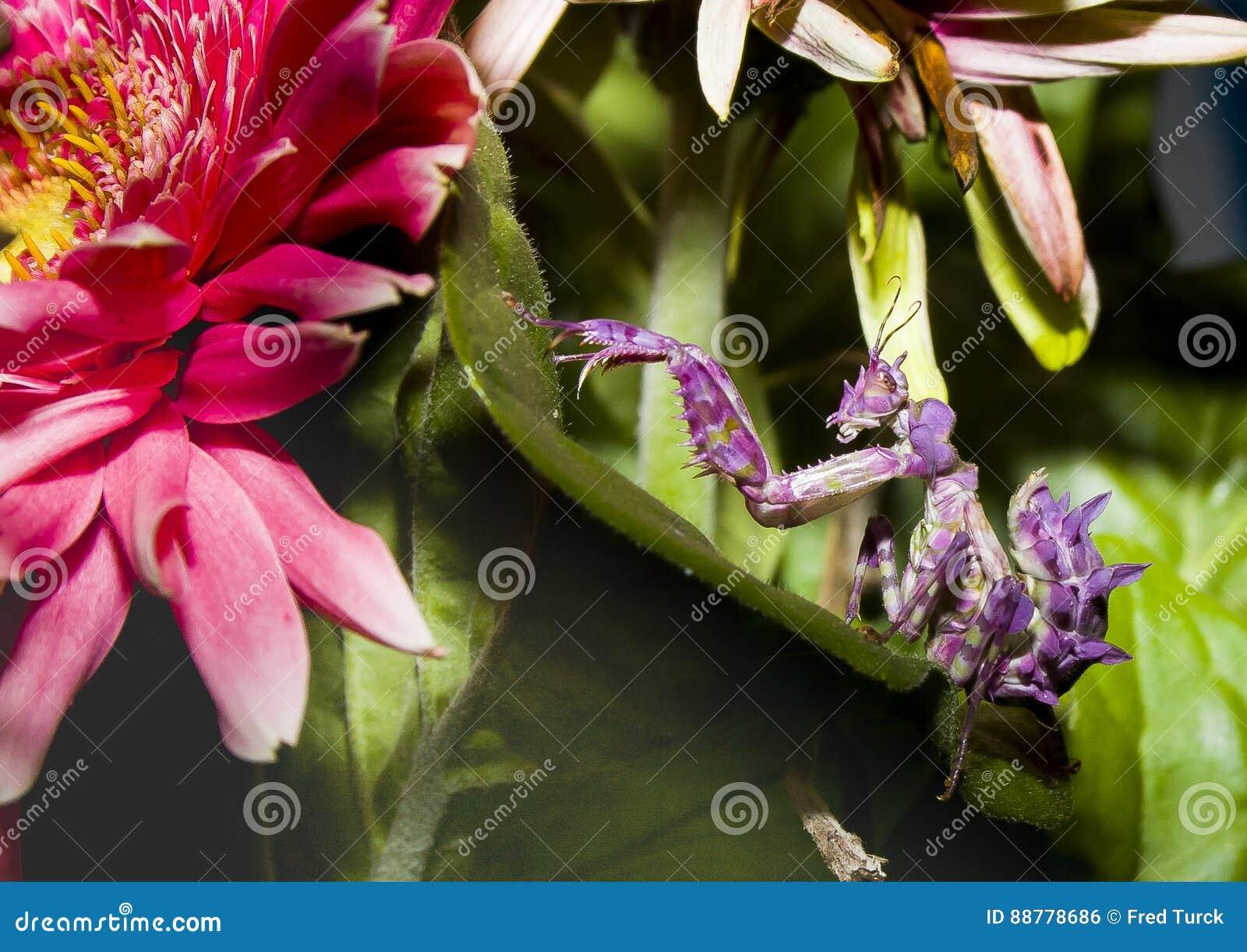 Praying Mantis Grub On Green Leaves And Pink Flower Stock Photo