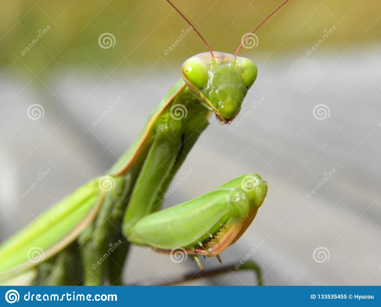 Praying mantis in herault, languedoc, france
