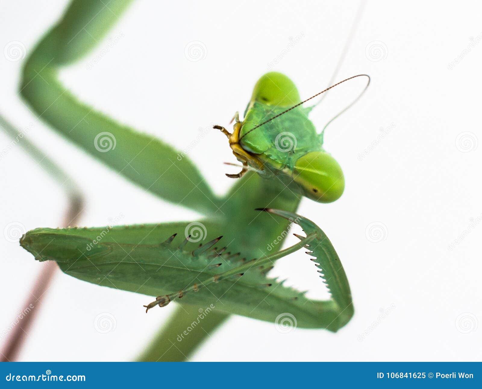 Praying mantis hierodula membranacea on white background