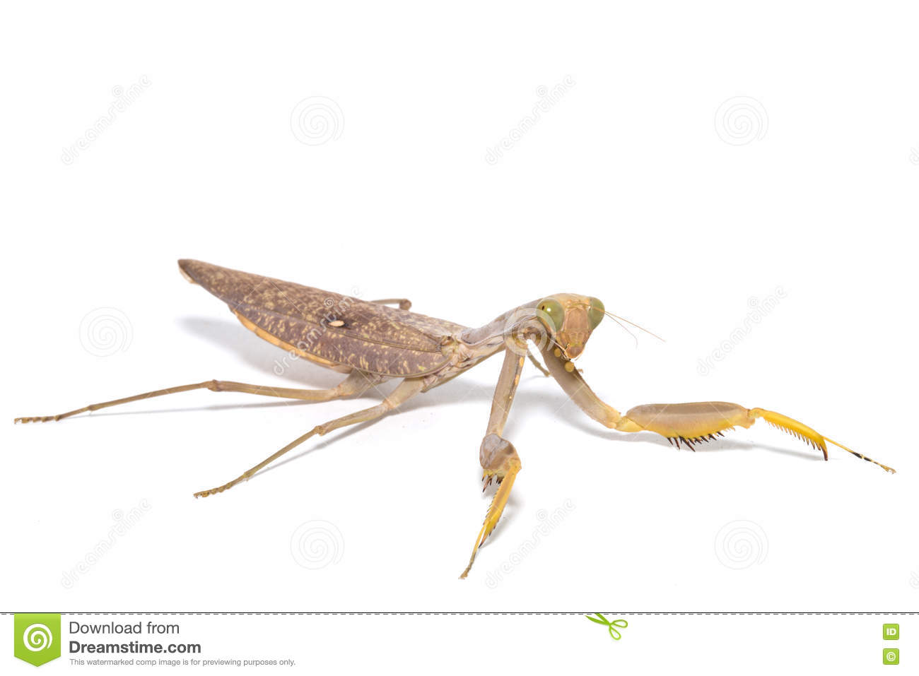 the background of the praying mantis Find the perfect praying mantis green background stock photo huge collection, amazing choice, 100+ million high quality, affordable rf and rm images no need to register, buy now.