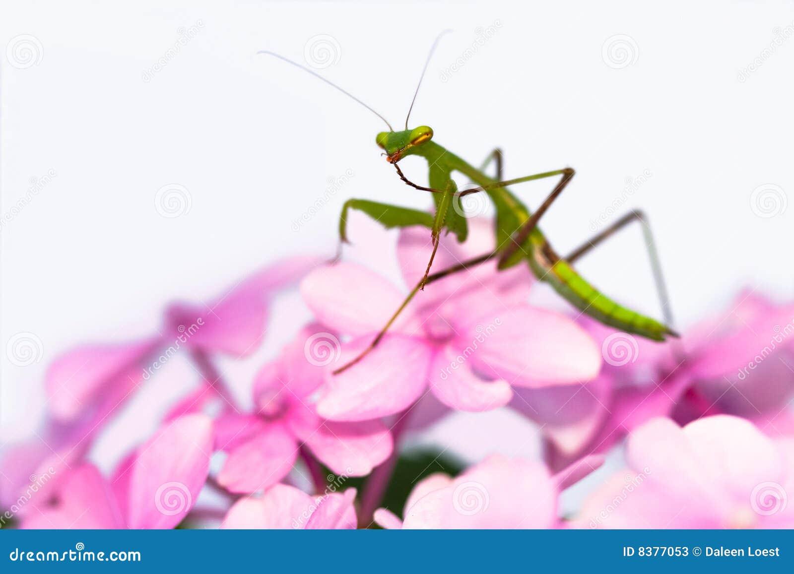 Praying Mantis Pink Flower Sideview Stock Image Image Of Pink