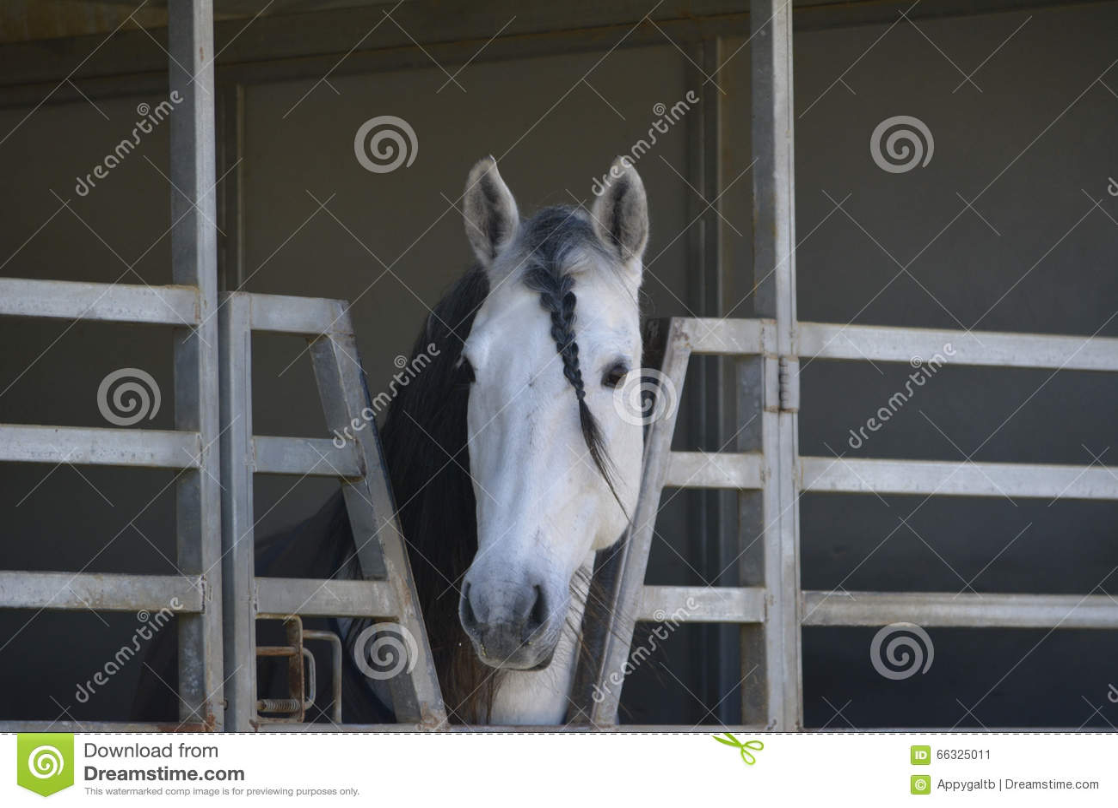 PRE stallion braided forelock