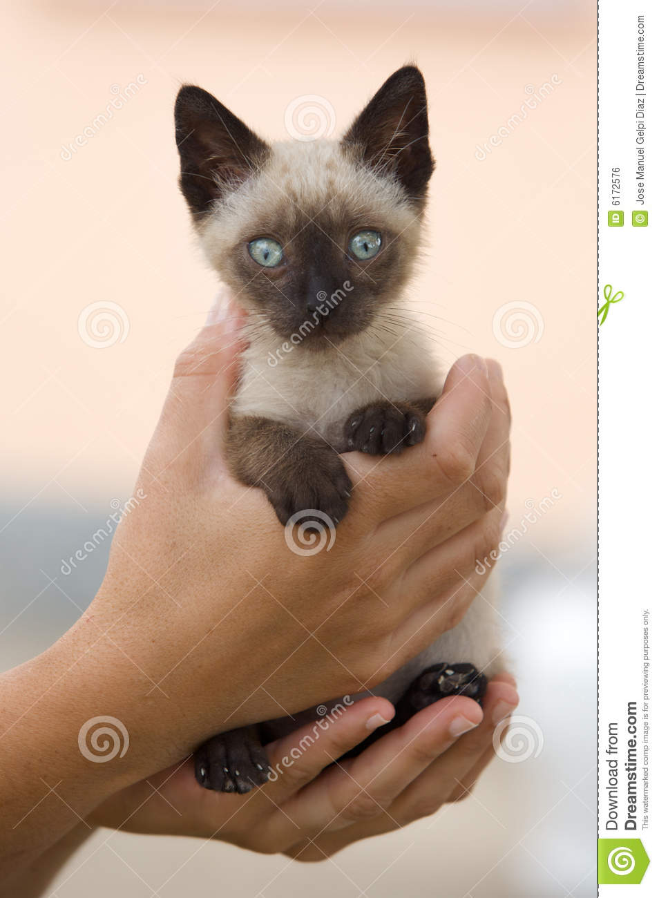 how to train a siamese cat