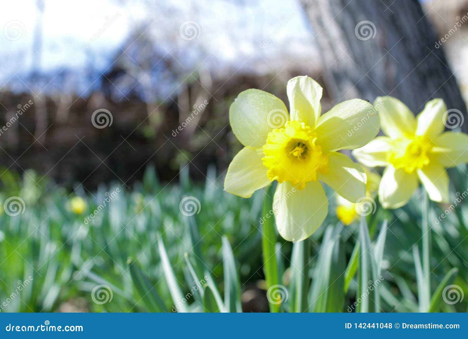 Precursor de la primavera, narciso doble