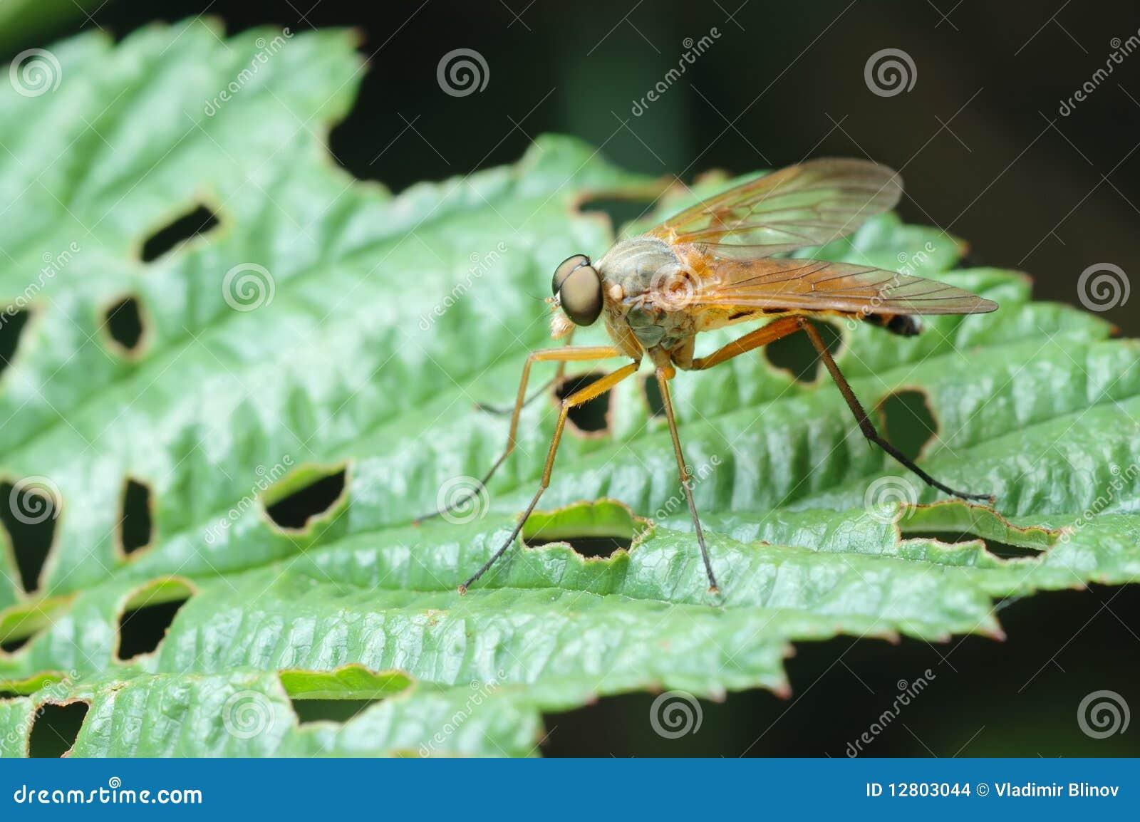 Predatório Snipe-voe (o scolopaceus de Rhagio)