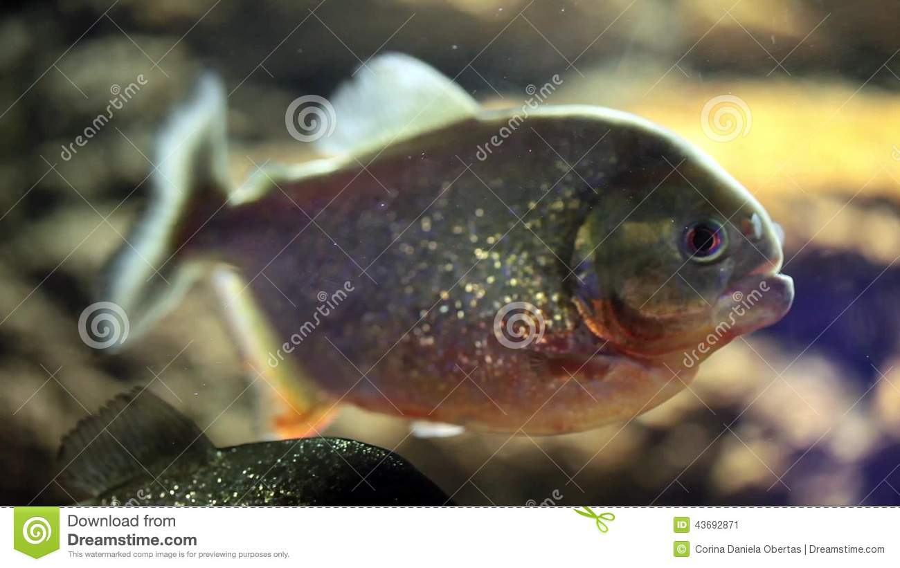 Predator Fish Piranha Stock Video Video Of Freshwater 43692871