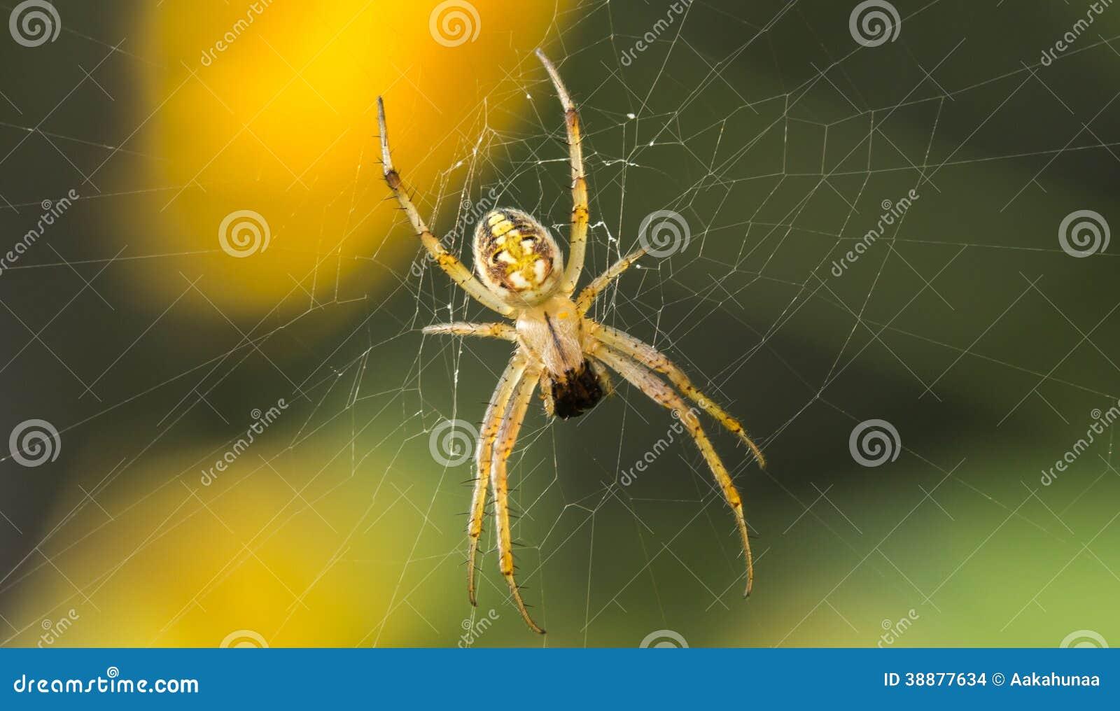 Predatory spiders