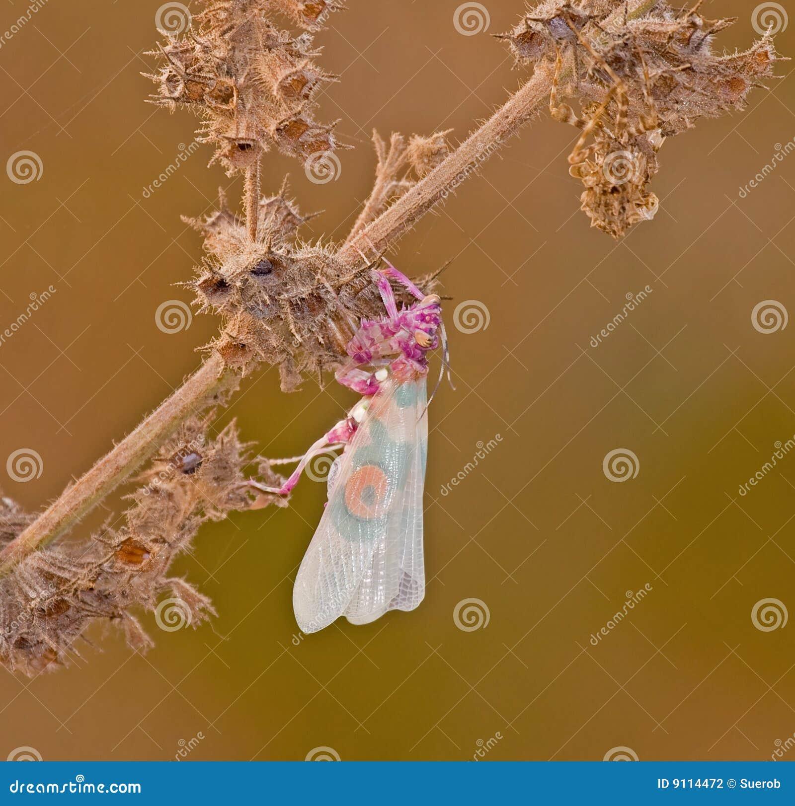 Predicador de rogación espinoso de la flor en la planta