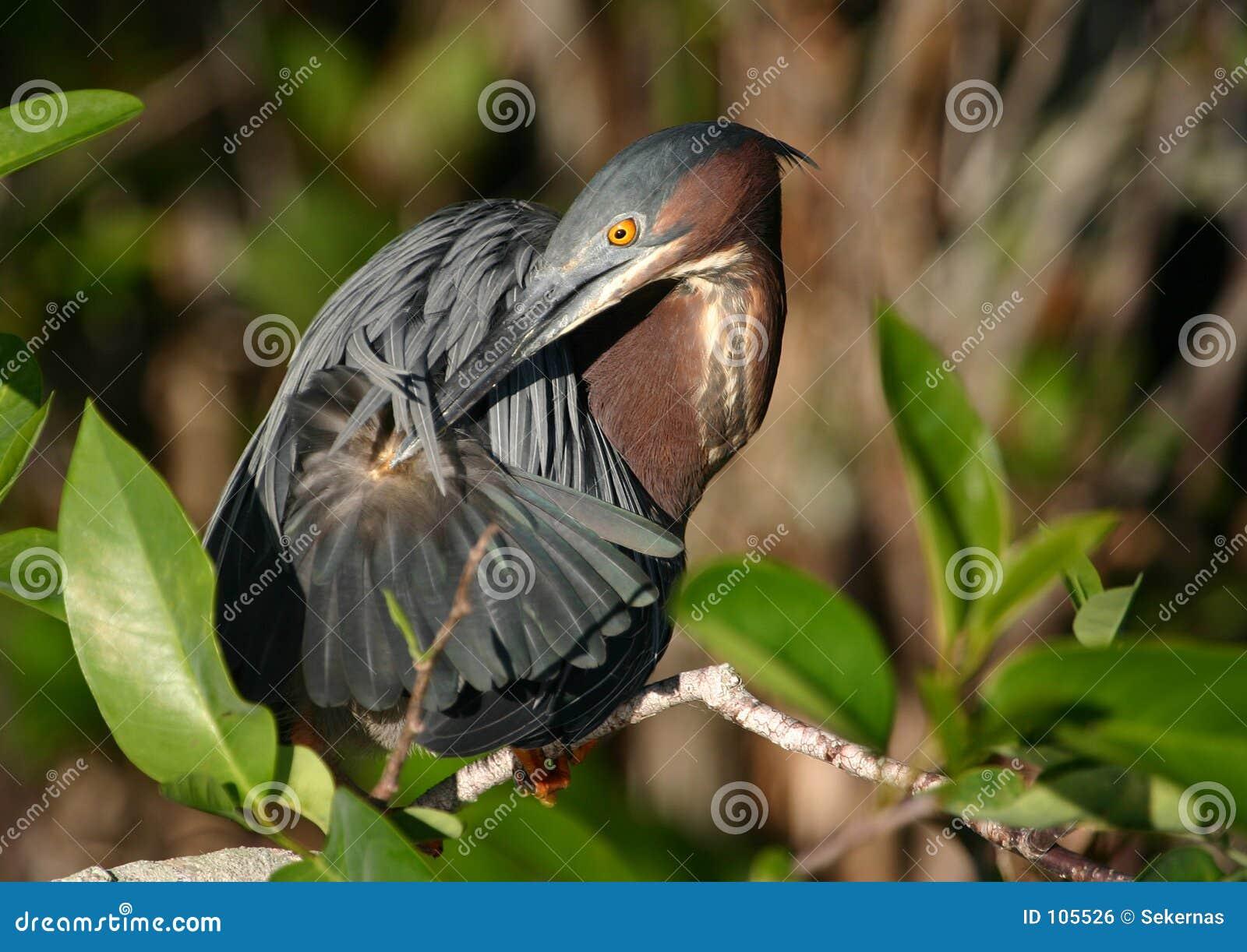 Preening green heron