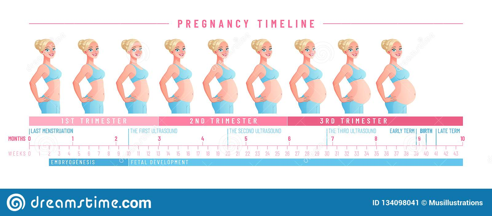 Pregnancy Timeline By Weeks  Isolated Vector Illustration