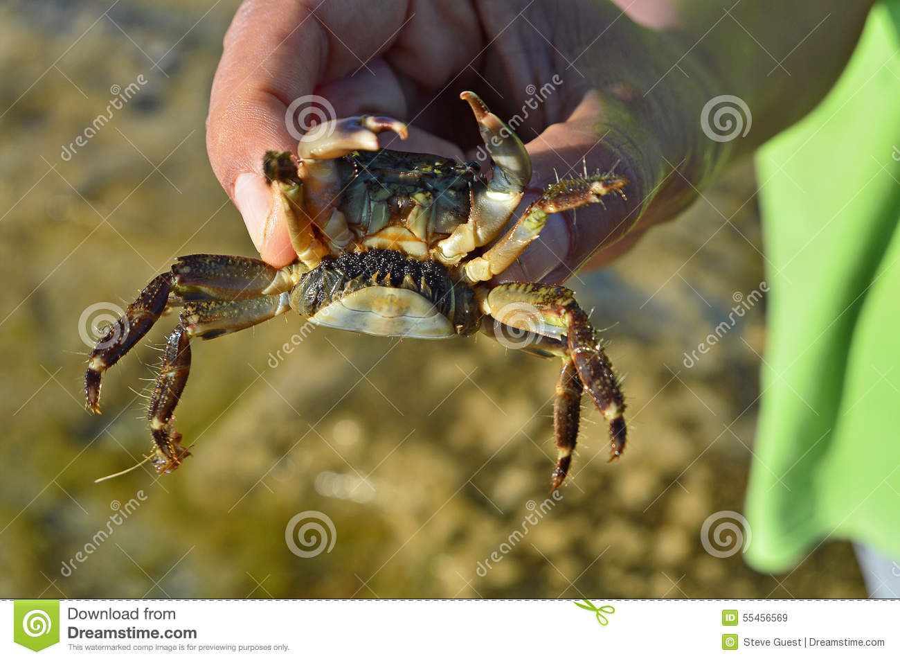 a pregnant crab with eggs stock image image of shell