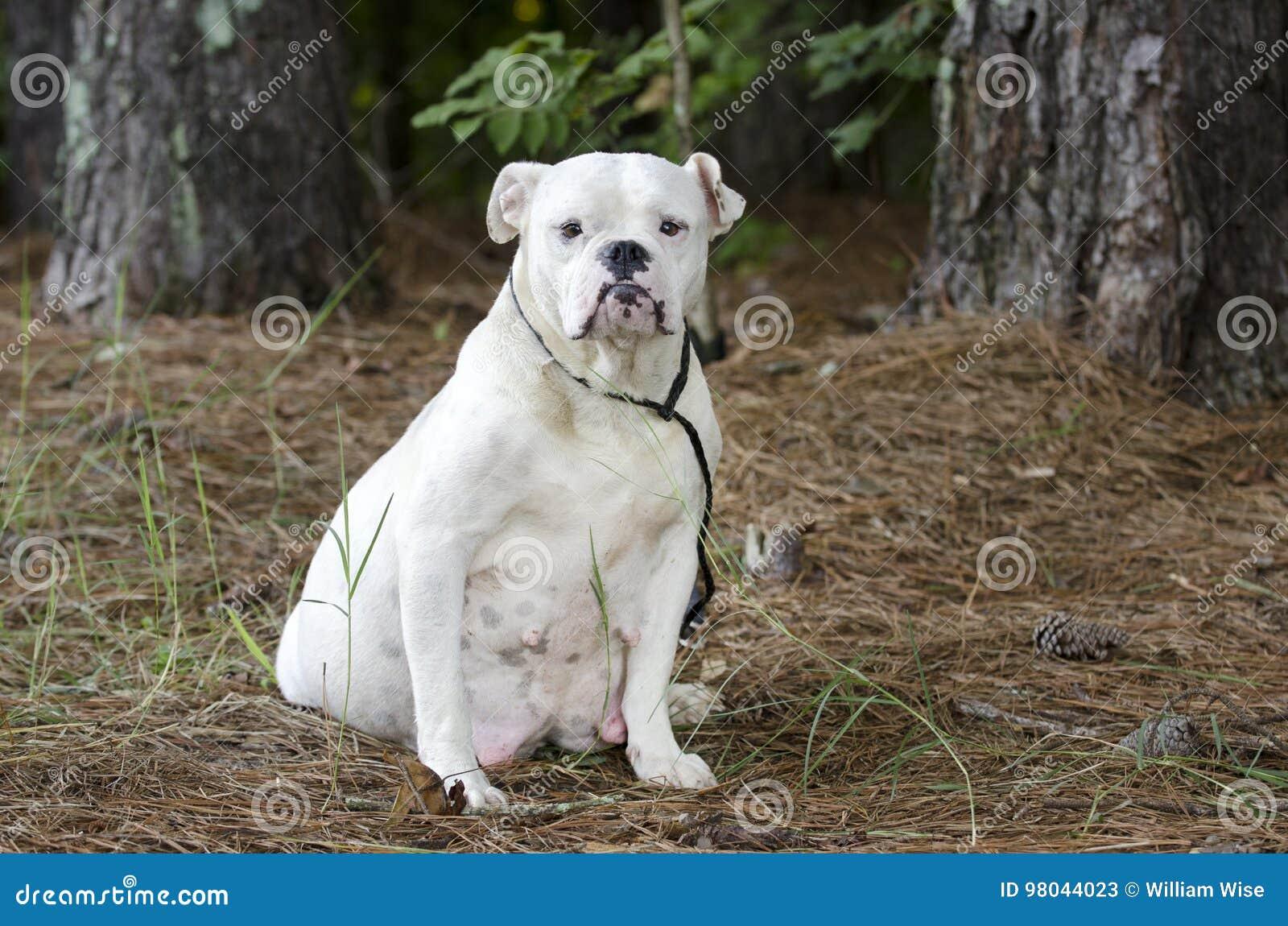 Pregnant English Bulldog Dog Stock Image Image Of Bulldog Puppies